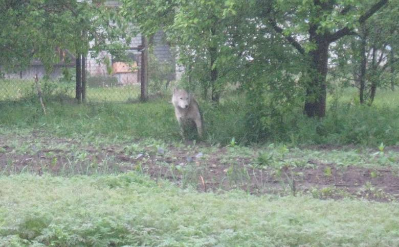 Tak wyglądało zwierzę, które zakradło się na posesję jednego z mieszkańców gminy Tarłów. Myśliwi twierdzą, że to wilk.