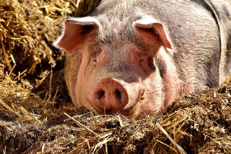 Właściciel podkrakowskiej fermy świń poszukiwał pracownika. Do jego obowiązków miało należeć codzienne karmienie zwierząt i sprzątanie. Jednak to dość