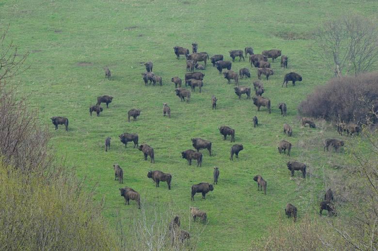 Bieszczadzkie stada powiększyły się w tym roku o ponad  sto młodych żubrów [ZDJĘCIA]