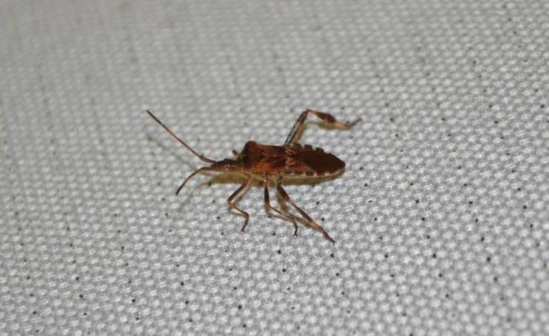 Śmierdzący owad wciska się do domów i mieszkań. To wtyk amerykański. Zobacz, jak wygląda!