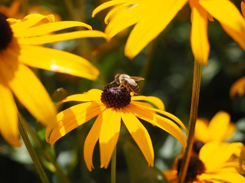 Zobacz 15 roślin, które są dekoracyjne i miododajne, a także łatwe w uprawie.