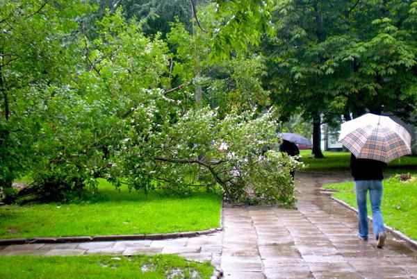 Przy ul. Wici wiatr złamał podczas burzy drzewo.