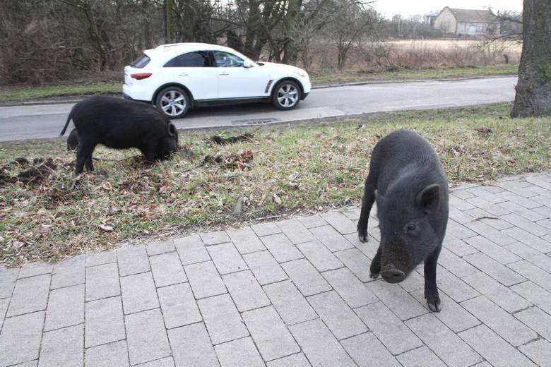 Stada dzikich zwierząt biegają coraz bliżej centrum miast. Bać się ich, czy się do nich przyzwyczaić?
