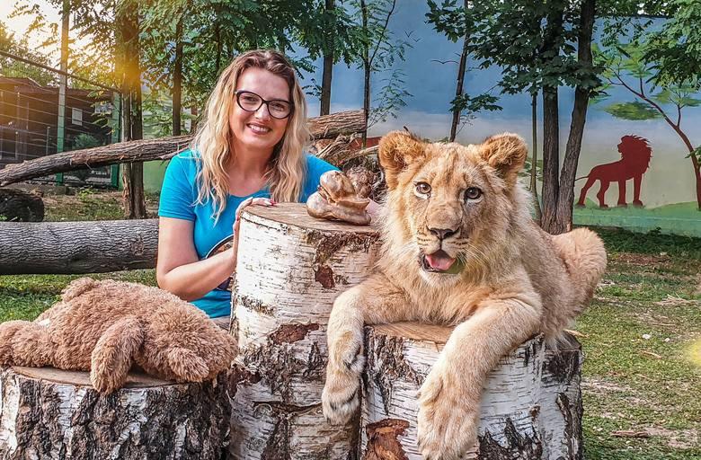 Świętokrzyski król zwierząt jest już dużym kociakiem! Nowe zdjęcia lwa Simby w Zoo Leśne Zaicsze [ZDJĘCIA]