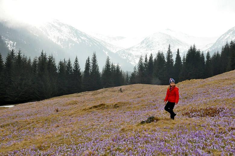 Krokusy w Dolinie Chochołowskiej i na Kalatówkach
