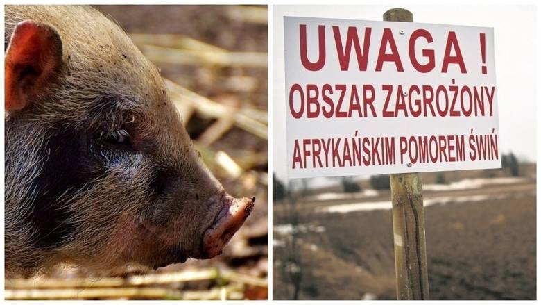 Pionki. Na terenie byłego zakładu Pronit znaleziono dzika zarażonego ASF - wirusem afrykańskiego pomoru świń