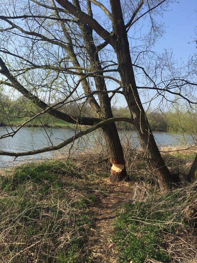 To drzewo, rosnące niedaleko opolskiego kąpieliska Bolko, zostało mocno podgryzione przez bobry. Takie przypadki mogą się u nas powtarzać. <br />