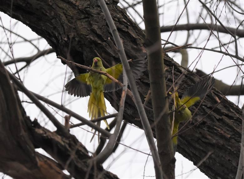 Papugi z gatunku aleksandretta obrożna w parku w Nysie.