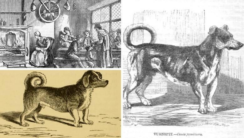 Długie i krótkonogie Turnspity były używane do dreptania w kołach deptakowych, które napędzały kuchenny rożen, obracając mięso. Turnspity żyły raczej