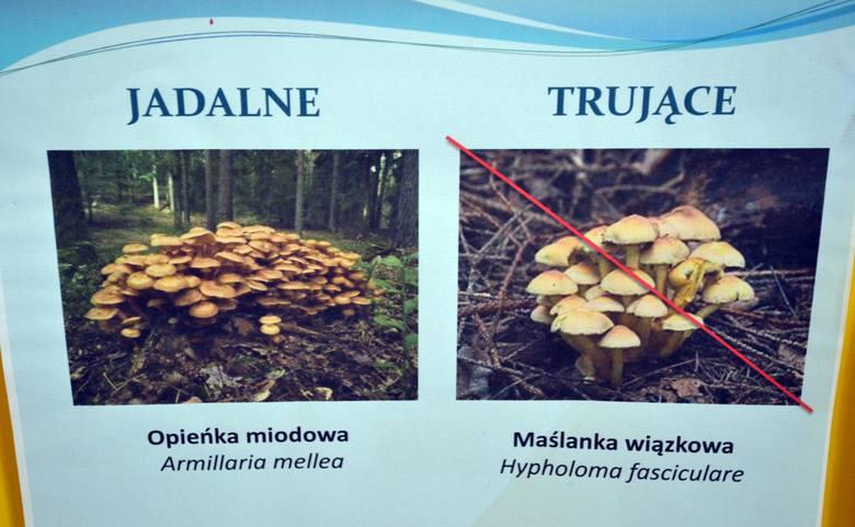 Jadalna Opieńka Miodowa, a trująca Maślanka Wiązkowa:Opieńka miodowa jest grzybem jadalnym. Występuje wyłącznie na pniach, ma kolor miodowy, a na kapeluszu