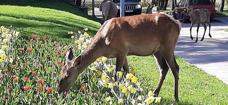 Zakopane: Zuchwałe łanie zjadły urzędnikom... kwiatki