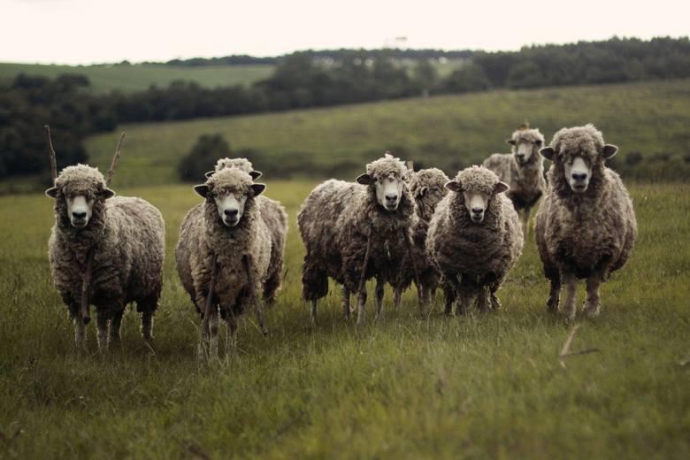W tym roku roku płatności dobrostanowe rozszerzono też na owce