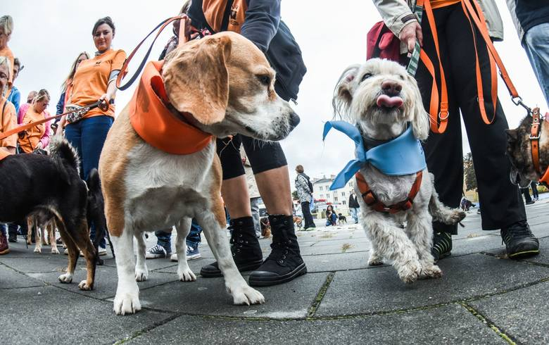 W niedzielę, 2.10.2016, ulicami miasta przeszła Czwarta Parada Psów Adoptowanych. Miłośnicy zwierzaków zabrali je na spacer po Bydgoszczy.