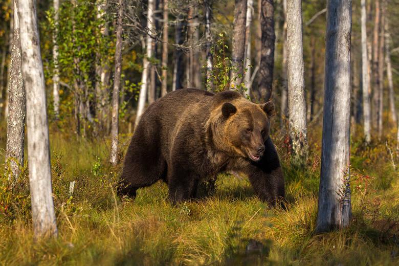 Finlandia. Niedźwiedź brunatny z tajgi.<br />