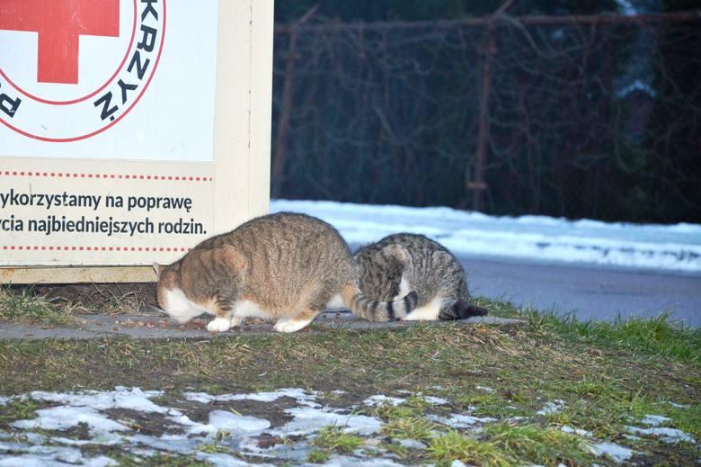 Oni mają wielkie serce do kotów. W Bytowie działają karmiciele.