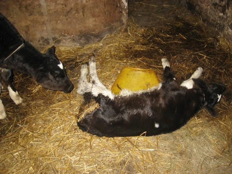 Zwierzęta w gospodarstwie Marka K. były wygłodniałe i zaniedbane.