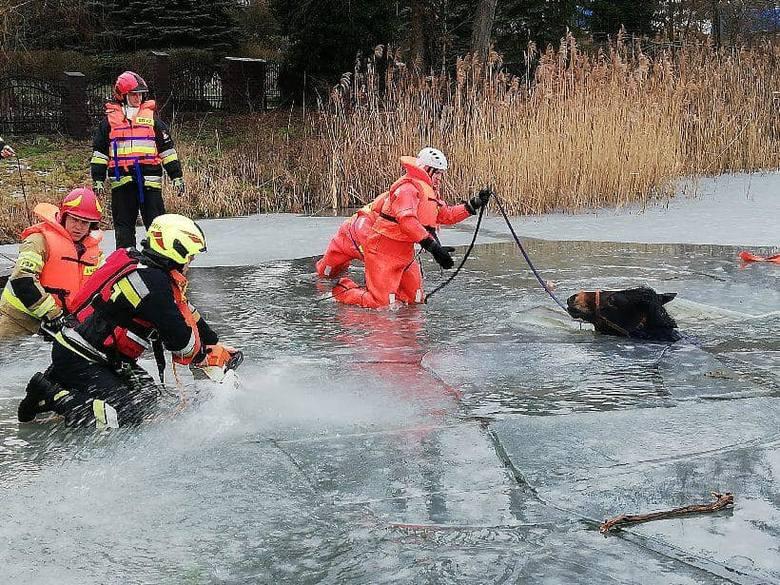 We wtorek, 5 lutego, strażacy dostali wezwanie do konia, który wszedł na lód, którym pokryte jest jezioro w Przełazach. Zwierzę na lód weszło, ale ten