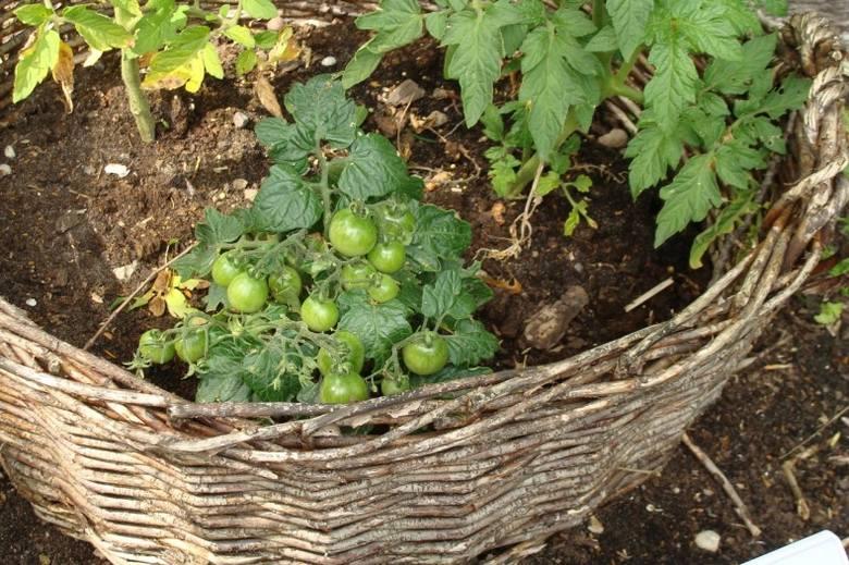 Plecioną skrzynię na warzywa trzeba wyłożyć od środka folią. Jako pojemnik można wykorzystać np. duży wiklinowy kosz.