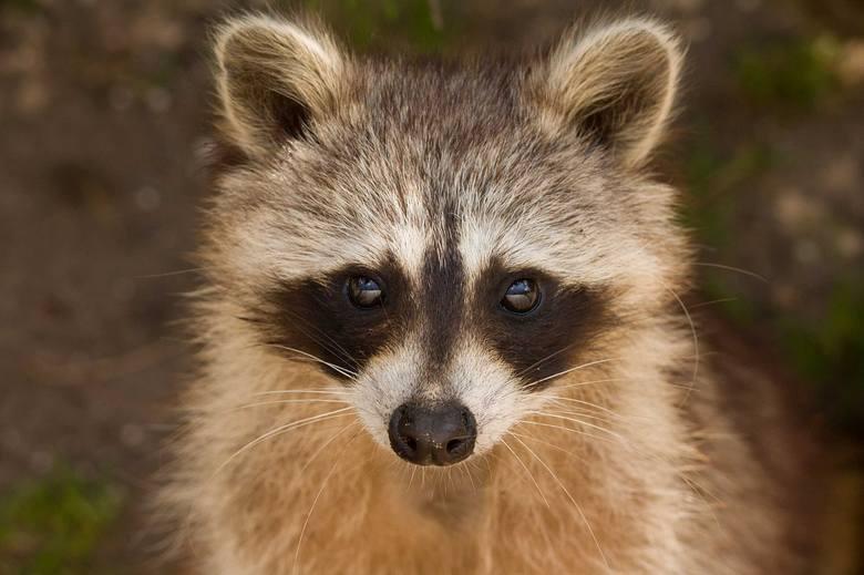 Turyści zamknęli szopa w beczce. Gdy ją otworzono, już nie żył. Opiekunka zwierzęcia złożyła donos do prokuratury.