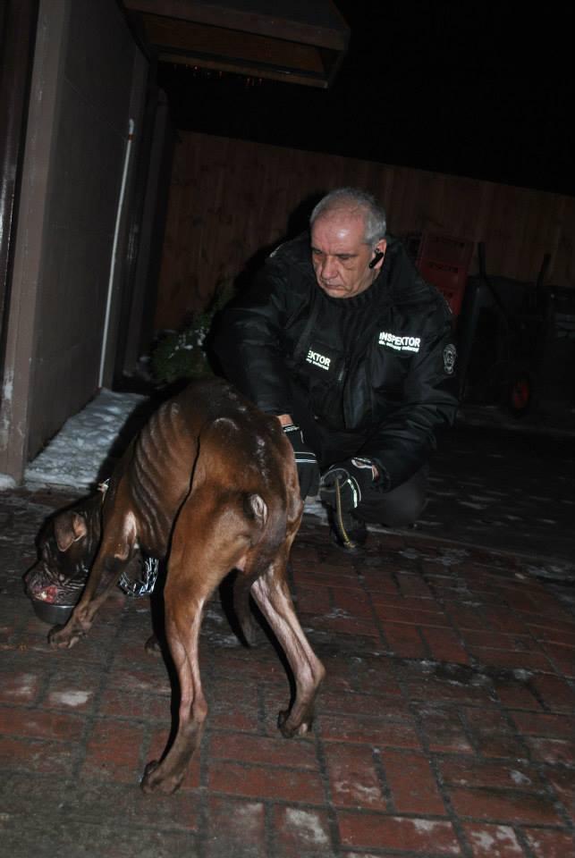 Amstaff zagłodzony niemal na śmierć. Skrajnie wychudzony pies odebrany właścicielce [ZDJĘCIA]