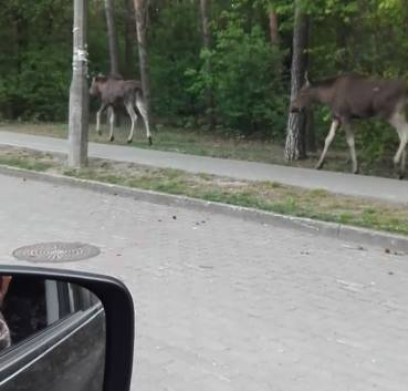 Łosie na spacerze blisko drogi pod Bydgoszczą. Spacerowały w biały dzień [zdjęcia]