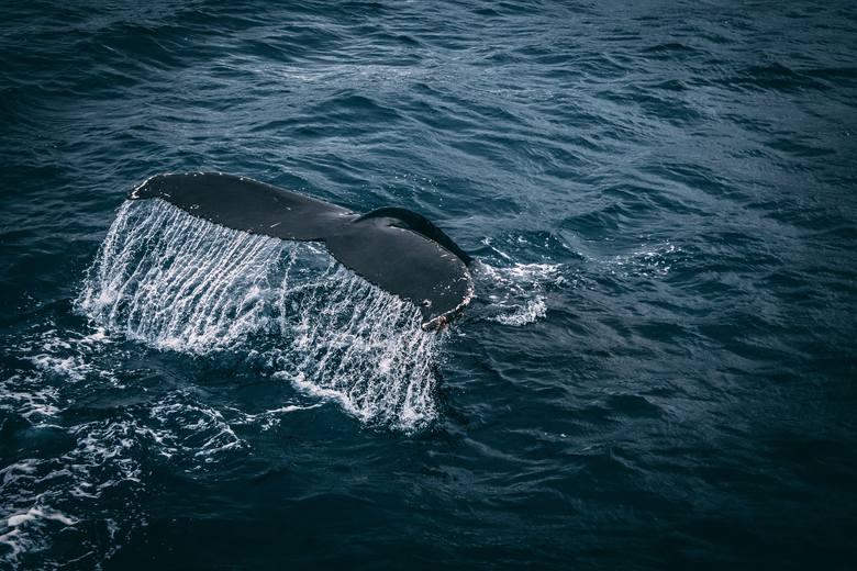 Rzeźbione kości: morsów i wielorybów.