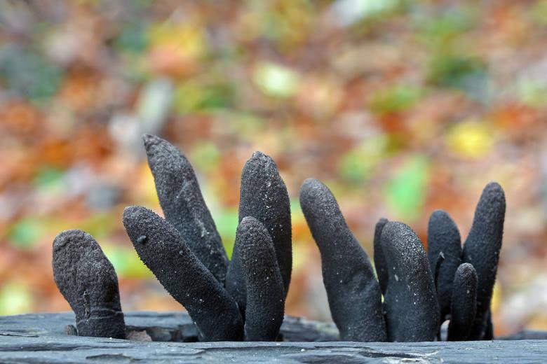 """Tego grzyba nazywa się """"palcem nieboszczyka"""" (w języku angielskim ma dokładnie taką nazwę), ponieważ mimo przybierania różnych kształtów, najczęściej"""
