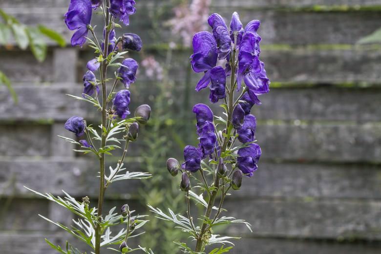 Przyjazna z wyglądu roślina zawiera w sobie akonitynę – substancję o działaniu przeciwbólowym, która jednak w większych dawkach potrafi zabić. Podrażnienie