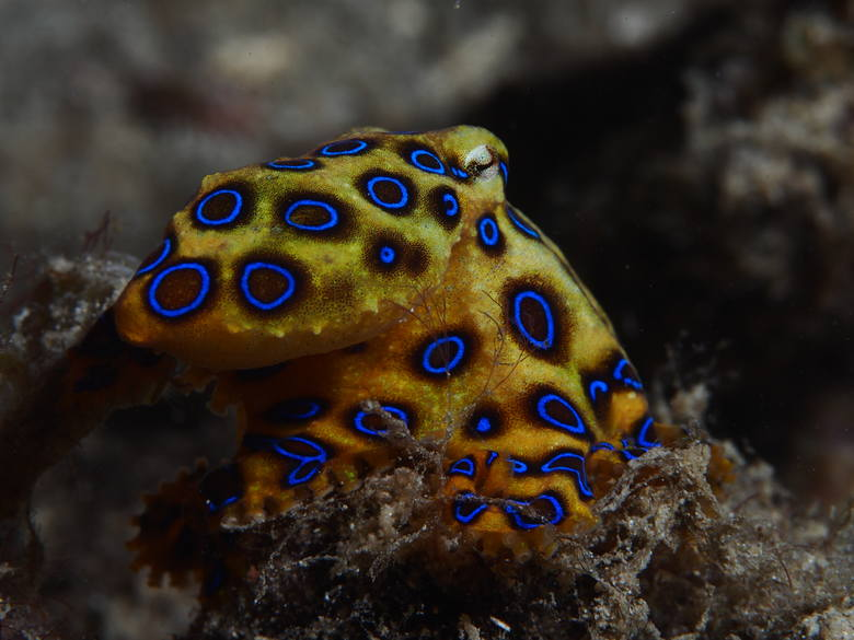 Hapalochlaena Ten gatunek ośmiornicy jest tak jadowity, że zabija ofiarę jednym dotknięciem - zanim ta zdąży się zorientować. Występuje w wodach Ind