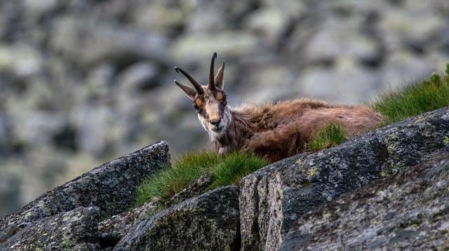Gatunek skrajnie zagrożony w Polsce. Z początkiem lat 90. nastąpił ich rekordowy spadek do około 220 osobników. W XXI wieku liczba kozic tatrzańskich