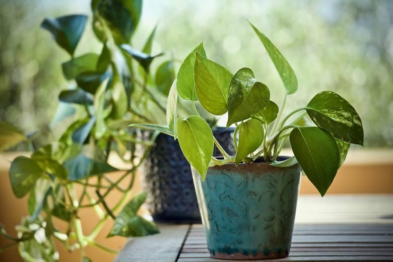 Epipremnum to roślina, która pochłania benzen - jeden ze składników smogu o działaniu rakotwórczym, odpowiadający również za nieprzyjemny zapach.