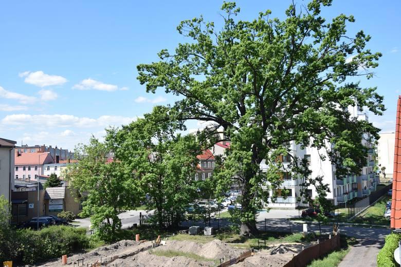 Szacuje się, że pomnik przyrodu przy ulicy Wodnej w Słubicach ma około 200 lat!