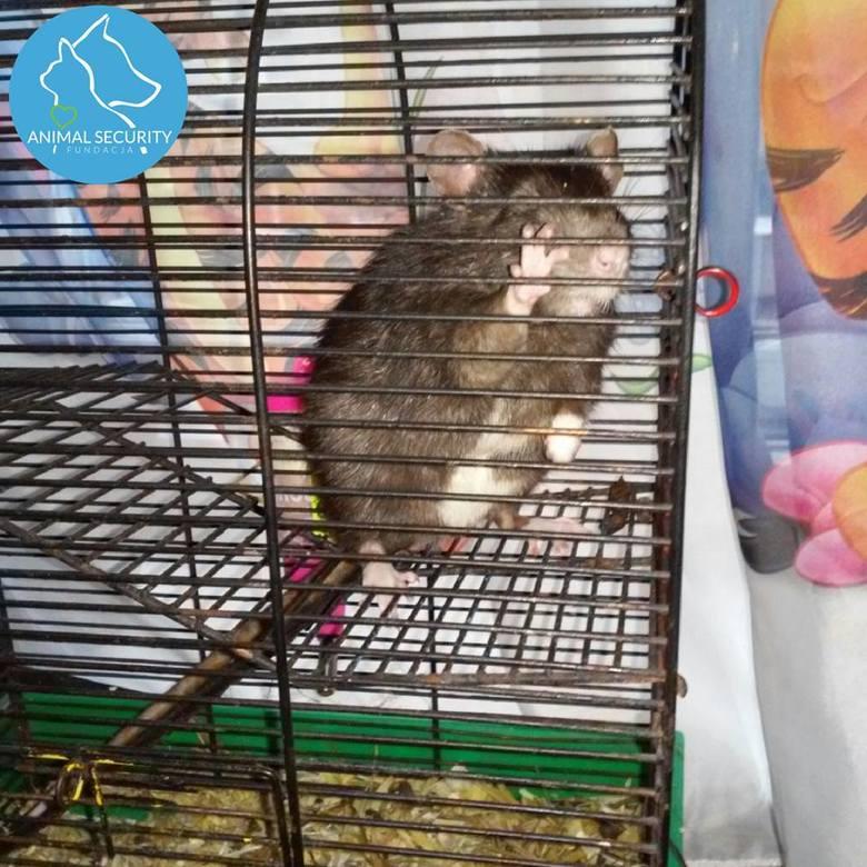 Trzymał w pokoju szczury, chomiki i króliki. Zwierzęta miały zjadać się nawzajem