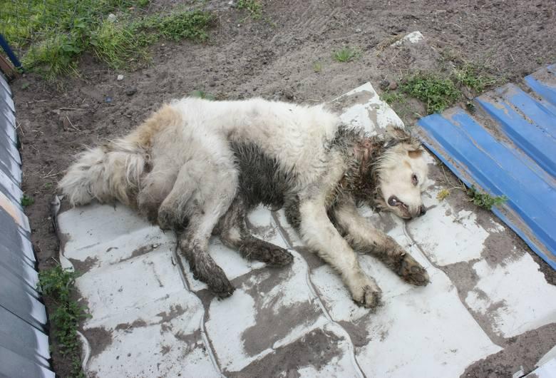 Mieszkaniec Unisławia znęcał się nad psem. Wkrótce usłyszy zarzuty [DRASTYCZNE ZDJĘCIE]