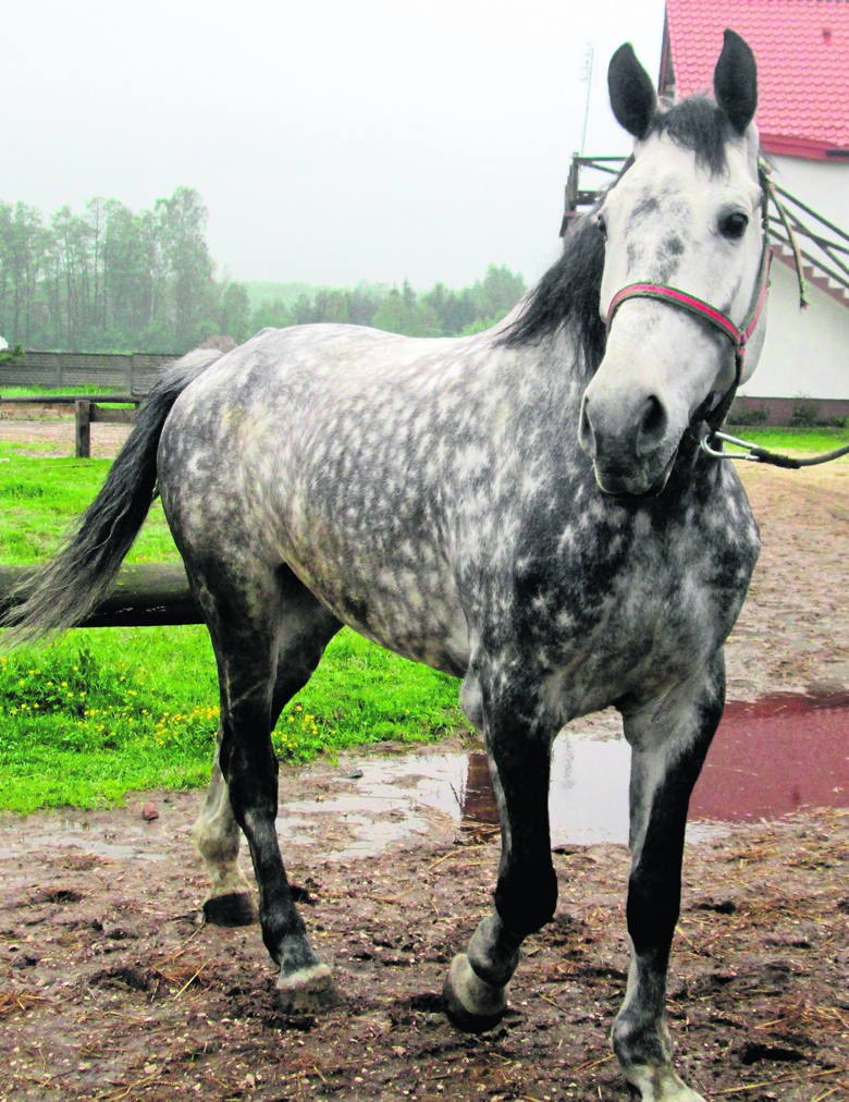 Koń Awans ciężko pracował ciągnąc fasiągi z turystami na drodze do Morskiego Oka