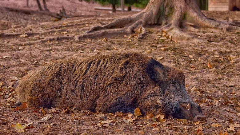 W przypadku znalezienia martwego dzika lub zauważenia nietypowych zachowań wśród zwierząt w gospodarstwie trzody chlewnej, należy niezwłocznie zgłosić