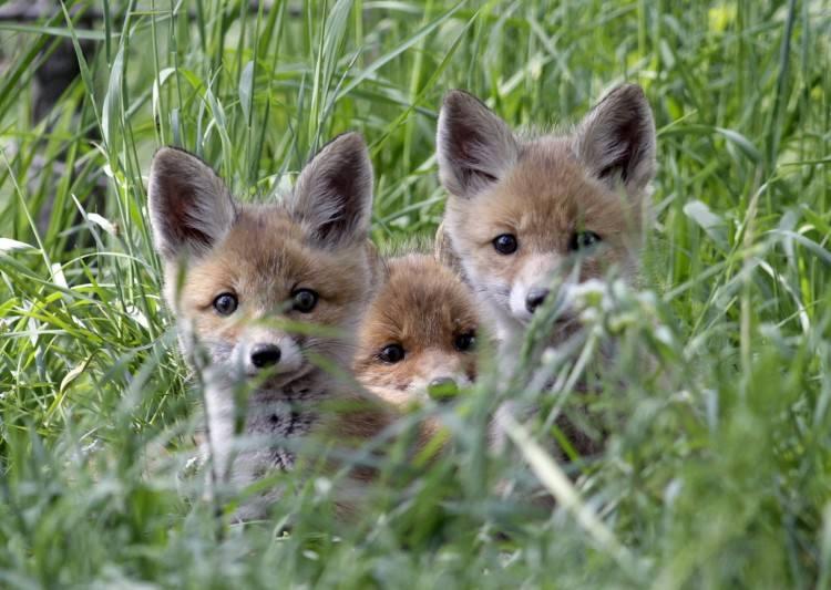Młode liski wyłażą już z nor