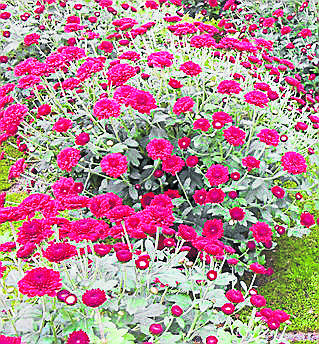 <br /> Wśród chryzantem drobnokwiatowych najbardziej wytrzymała jest odmiana Zsa. <br />