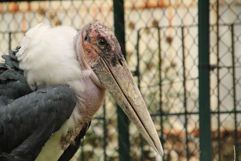 Marabut afrykański - najstarszy mieszkaniec śląskiego zoo