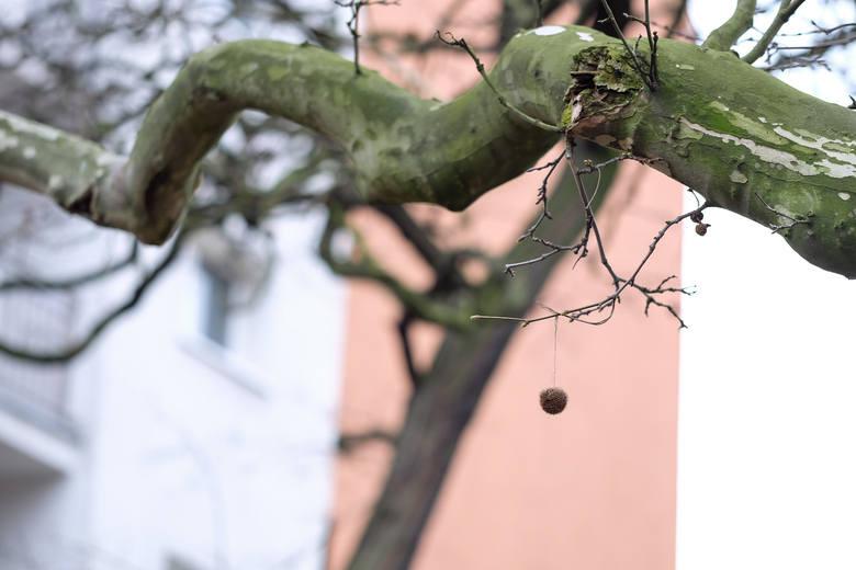 Polska sadzi drzewa. W Poznaniu chcą zaś wyciąć stuletni platan
