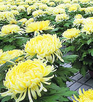 <br /> Odmiana Angelys o żółtych kwiatach bije rekordy sprzedaży, kwiaty są ładne kilka tygodni.