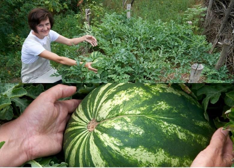 Kamila Kasperska hoduje arbuzy w Anielskich Ogrodach. Owoce są już duże, ale jeszcze urosną!