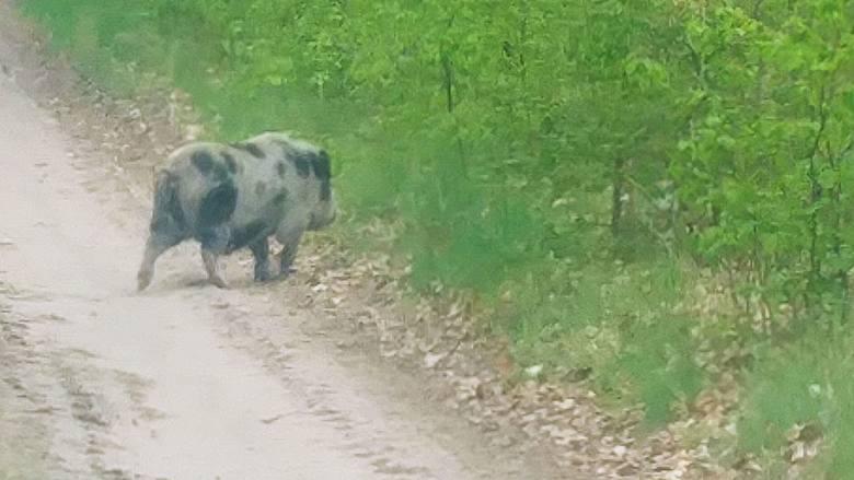 Świnka wietnamska spacerowała po lesie w okolicy Łośna pod Gorzowem Wielkopolskim