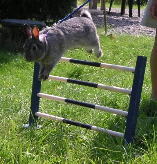 Fani sportu znają konne konkursy skoków przez przeszkody, ale mało kto w Polsce słyszał o podobnych zawodach dla... królików. Zasady są podobne, z tym