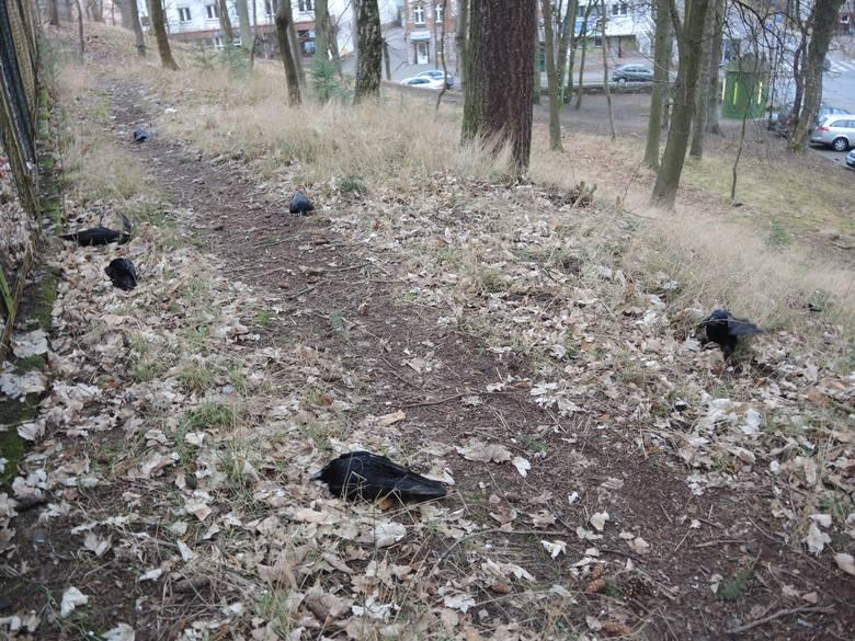 Otrute ptaki przed miasteckim ratuszem (wideo, zdjęcia)