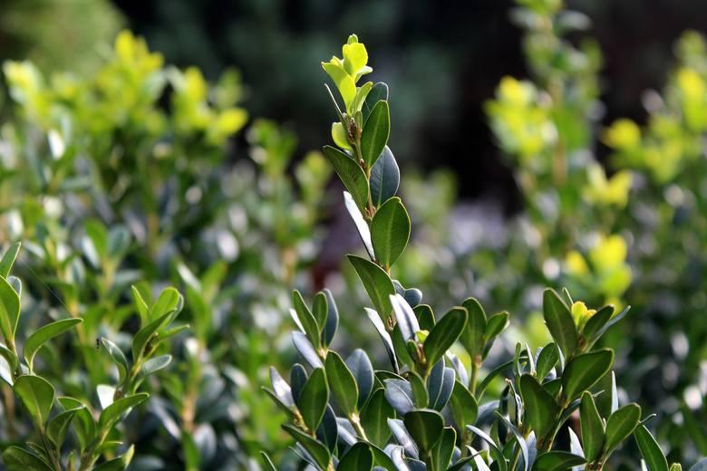Bukszpany to popularne do niedawna krzewy. Ich wielką zaletą jest to, że nie zrzucają na zimę liści i są zielone również o tej porze roku. Nie rosną