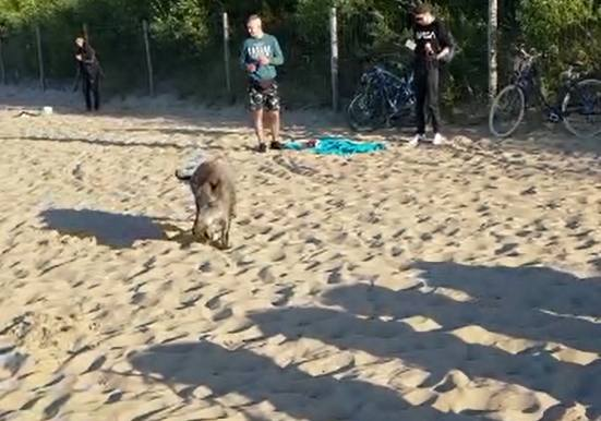 """Dziki na plaży w Brzeźnie 7.07.2020. Mieszkaniec Gdańska nagrał, jak """"spacerują"""" pomiędzy odpoczywającymi ludźmi"""
