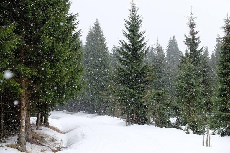 """Wiele osób wciąż uważa, że """"prawdziwa"""" choinka to taka, którą samemu wycięło się w lesie."""