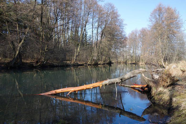 Pilica jest nieuregulowana, co ogromnie podnosi jej walory przyrodnicze. Na zdjęciu jedno z pilickich starorzeczy.