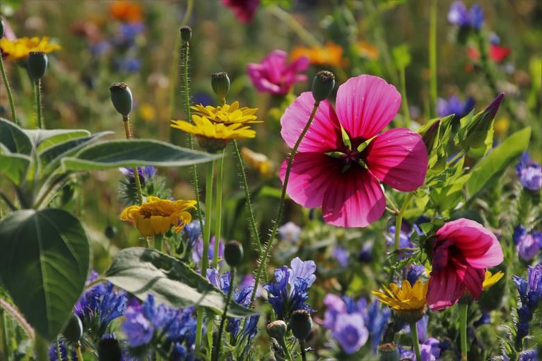 Łąki kwietne mają wiele zalet. Po pierwsze – są piękne. Kwitnące w nich kwiaty będą pojawiać się przez cały sezon, zdobiąc ogród. Poza tym łąka wymaga